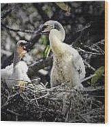 Anhinga Chicks Wood Print