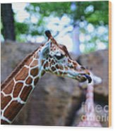 Animal - Giraffe - Sticking Out The Tounge Wood Print