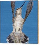 Anna's Hummingbird Tail Display Wood Print