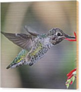 Anna's Hummingbird Wood Print by Thy Bun