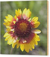 Annual Coreopsis Wood Print