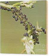 Ant Farm Wood Print