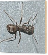Ant Wood Print