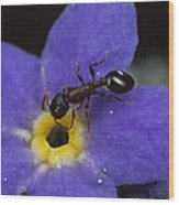 Ant With Pollen Enters Alpine Wood Print