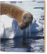 Antarctic Crabeater Seal Wood Print