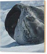 Antarctic Leopard Seal On Iceberg Wood Print