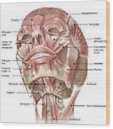 Anterior Neck And Facial Muscles Wood Print