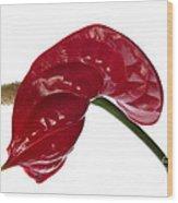 Anthurium - Backward Glance Wood Print