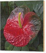 Anthurium Flamingo Flower Beauty Queen Fine Art Photography Print Wood Print