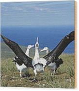 Antipodean Albatross Courtship Display Wood Print by Tui De Roy
