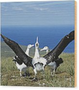 Antipodean Albatross Courtship Display Wood Print