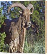 Aoudad Sheep  Wood Print