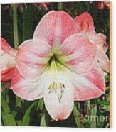 Apple Blossom Amaryllis  Wood Print