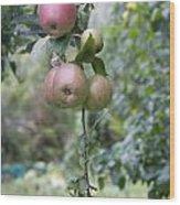 Apple Tree In Allotments In Utrecht Netherlands Wood Print