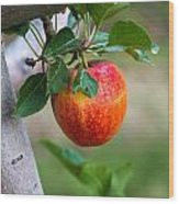Apples Hanging In The Orchard Wood Print