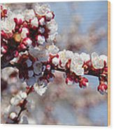 Apricot Blossoms Popping Wood Print