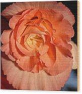Apricot Pink Tuberous Begonia Wood Print