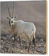 Arabian Oryx Oryx Leucoryx Wood Print