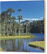 Araucaria Forest Chile Wood Print