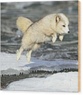 Arctic Fox Jumping Wood Print