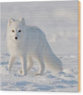 Arctic Fox Out On The Pack Ice Wood Print