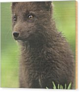 Arctic Fox Portrait Alaska Wildlife Wood Print