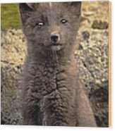 Arctic Fox Pup Alaska Wildlife Wood Print