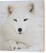 Arctic Fox Resting In The Snow Wood Print