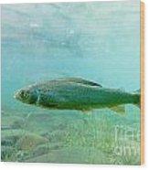 Arctic Grayling Or Thymallus Arcticus Underwater Wood Print