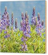 Arctic Lupine Wood Print