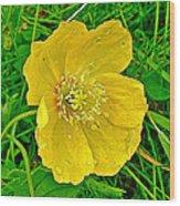 Arctic Poppy Near Maligne Lake Trail In Jasper National Park-alberta Wood Print