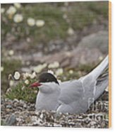 Arctic Tern In Its Nest Wood Print