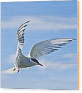 Arctic Tern Sterna Paradisaea In Flight Wood Print