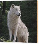 Arctic Wolf On Hill Wood Print