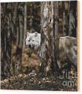 Arctic Wolf Picture 242 Wood Print