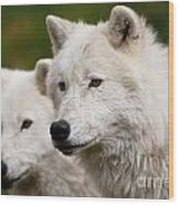 Arctic Wolf Picture 247 Wood Print