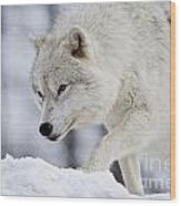 Arctic Wolf Pictures 1054 Wood Print