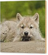 Arctic Wolf Pictures 1118 Wood Print