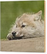 Arctic Wolf Pictures 1121 Wood Print