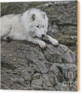 Arctic Wolf Pictures 1142 Wood Print