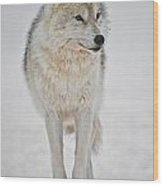 Arctic Wolf Pictures 1146 Wood Print