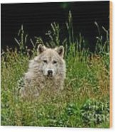 Arctic Wolf Pictures 1172 Wood Print