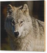 Arctic Wolf Pictures 1224 Wood Print