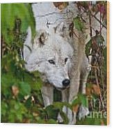 Arctic Wolf Pictures 1228 Wood Print