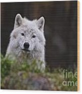 Arctic Wolf Pictures 208 Wood Print