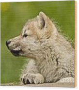 Arctic Wolf Pictures 340 Wood Print