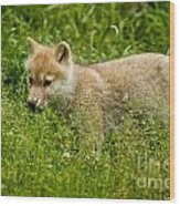 Arctic Wolf Pictures 341 Wood Print