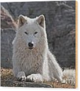 Arctic Wolf Pictures 518 Wood Print