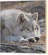 Arctic Wolf Pictures 526 Wood Print