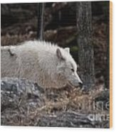 Arctic Wolf Pictures 541 Wood Print